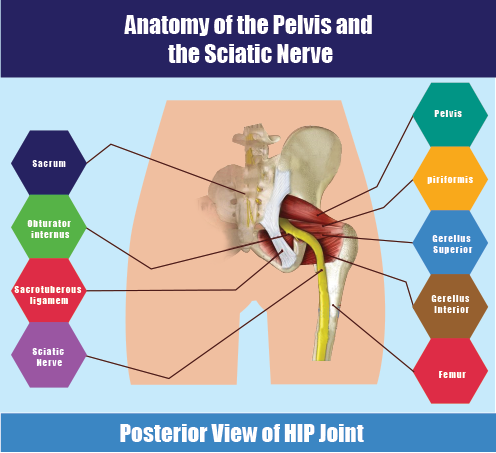 a info graphic for piriformis muscle